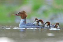 اردک و مرغابی
