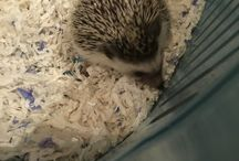 Hope da hedgehog / Hope is my new hedgehog! She is funny, sweet, and also at the same time a natural poop machine