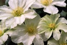 Alternatives to Clematis 'Alabast' / Other white-flowered clematis (Group 2)