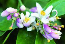 Les fleurs à parfum