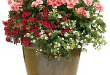 """Container Gardens & Porch Pots / Short on space, big on creativity? Then container gardening might be something you could """"Pot up"""" with! Nothing says beautiful on the porch or deck like a pot planted with striking colors and textures reflecting your personal style. At Flowerland we have a large assortment of flowers & Foliage for your """"Thriller, Filler & Spiller"""" D.I.Y. Creation! Need Help? Don't worry, stop in to one of our three locations in Grand rapids Michigan for some """"well rooted"""" advice!"""