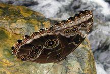 My butterflies / Pictures of butterflies taken by me