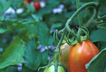 Grønsager, frugt og syltning