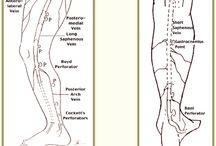 Anatomia: Venas MMII (Ejes safenos) / Anatomia: Venas muslo, pierna y pie