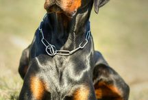 Dobermann & Pitbull