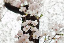 Cherry Blossoms / In honor of the start of the National Cherry Blossom Festival in Washington, we're featuring our favorite shots of these beautiful trees and flowers. / by Hit It Rich!