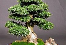 Bonsai / by William A Finch