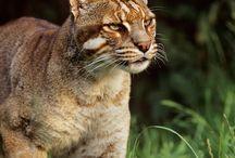 Asian golden cat / Asiatische Goldkatze