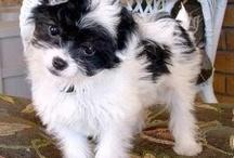 Chipoo poochi / #dogs #puppies #chipoo #poochi #pet