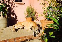 Mís Perros, ambos Reacatados ! / Great Dane ❤️❤️❤️❤️