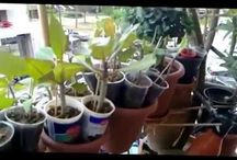 Plumeria  Adenium Video / http://pomelie.wordpress.com/