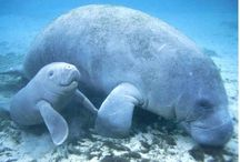 Manatees  / by Tater C.