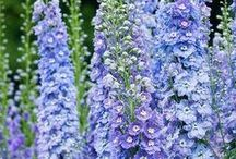 Garden Blues / #blue #flowers #garden #perennials / by Alicia Stavropoulos