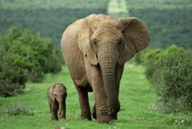 """Elephants / I really like elephants, a lot. I've given them their own room here. Please don't ignore them.   """"I meant what I said and I said what I meant - An elephant's faithful, one hundred percent!"""" - Dr. Suess / by Curtis Lowrey"""