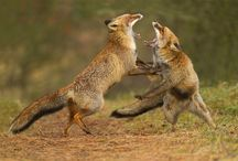 Red fox / Red foxes in all seasons