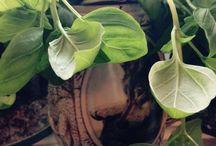 Pouce vert / Les plantes que j aime, que je chouchoune, dans mon appartement et qui sont si belle!