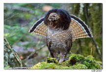 dağ tavuğu (çil) grouse