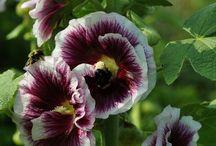 Hollyhocks / by Swallowtail Garden Seeds