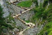 trabzon koyunlar