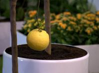 Balcon window lemon