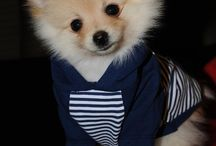 German spitz clothes