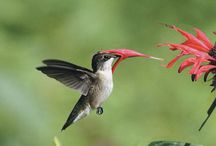 Attracting Hummers