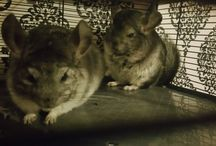 Maximillion + Damos / My Boys!! Meet the twins who steal my blog and have stolen my heart. 2 fat balls of fluffy chinchilla.