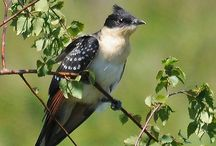 """Cuckoo/Käki / The Cuckoo is singing typical """"Kukkuu"""" usually before Midsummer.It is usually very silent, warm and nice evening, when You can hear Cuckoo singing. One of best moments in the Summer."""