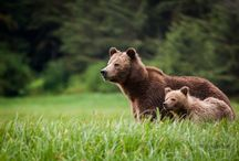 Bear Necessities / Bear watching holidays, Canada Wildlife, black bears, spirit bears, grizzly bears