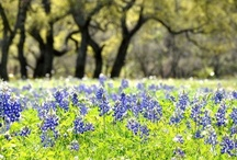 Bluebonnets & Wildflowers / Washington County is a great place to find Bluebonnets and a variety of wildflowers like indian paintbrush, indian blanket, coreopsis, phlox, winecups, evening primrose, and so many more! www.VisitBrenhamTexas.com