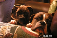 4 the Love of Boxers / Boxer Pics / by Deb Feick