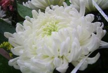 My Chrysanthemum