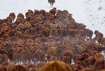 Cattle / Cattle