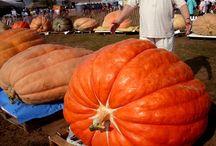 Pumpkin Growing