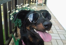 Beaucerons / Beaucerons, one of the best breeds.