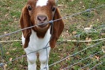 Goats / the cutest things you will ever see