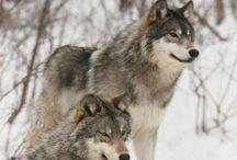 Wolfs in Winter