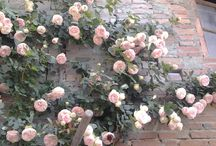Tuscany, Roseto - the bigest private rosegarden