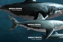 Shark ❤