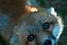 Foxes Are Cute