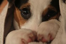 jack russell ♡♡