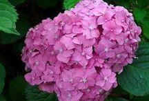 Cómo cambiar el color de las flores de las hortencias