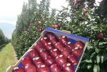 ALFA FRUIT.GR  Apples Red  / Fresh Fruits from Greece export & import