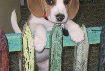 Cute Beagles