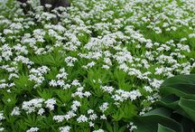 Groundcovers / Plants that grow low and cover far, for shade or sun.