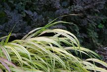 Hakonechloa Combinations / Plant partnerships that include Hakone grass (also known as Japanese forest grass)