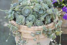 Succulents Παχύφυτα