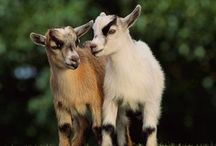 Goats are my favorite!