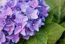 Fineartamerica photo works by Mariana / Violet Love. Flowering in a city. by Mariana Lisina Find more about it here: http://fineartamerica.com/f…/violet-love-mariana-lisina.html