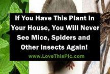Spider /Rodent plant deterent